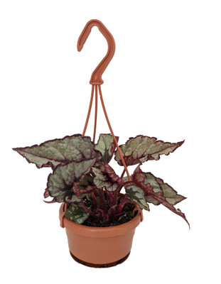 "Raindance Rex Begonia Plant - 4"" Mini Hanging Basket - Great Houseplant"