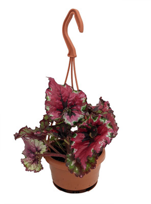 "Ballroom Dance Rex Begonia Plant - 4"" Mini Hanging Basket - Great Houseplant"