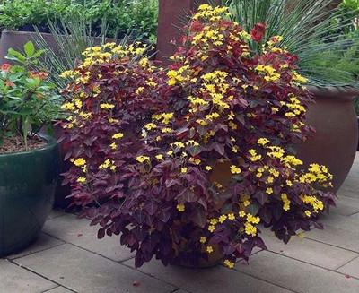 """Fire Fern - Oxalis hedysaroides Rubra - 2.5"""" Pot"""