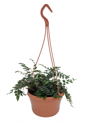 "Button Fern - Pellaea rotundifolia - 6"" Hanging Basket"