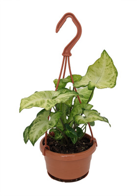 "White Butterfly Arrowhead Plant - 4"" Mini Hanging Basket - Syngonium/Nepthytis"