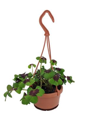"""Iron Cross Shamrock Oxalis Plant - 4"""" Mini Hanging Basket - Easy House Plant"""
