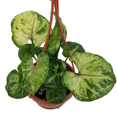 "Bold Allusion Arrowhead Plant - Syngonium/Nepthytis - 4"" Mini Hanging Basket"