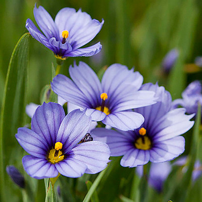Blue-Eyed Iris Grass - Sisyrinchium - Lucerne - Gallon Pot