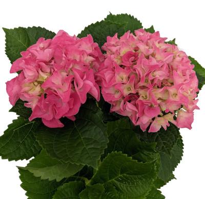 "Pink Shades Hydrangea - 4"" Pot - Enjoy Inside then Plant Outside"