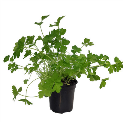 "Flat Leaf Italian Parsley - 4"" Pot - Favored by Chefs! - Live Plant"