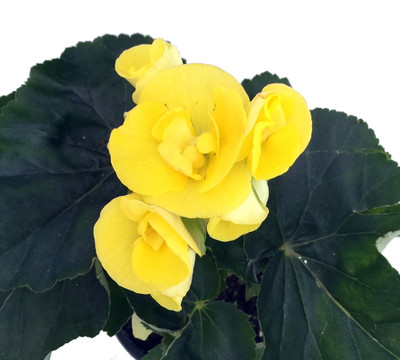 "Elatior Begonia Plant - Yellow - 4"" Pot - Easy Blooming House Plant"