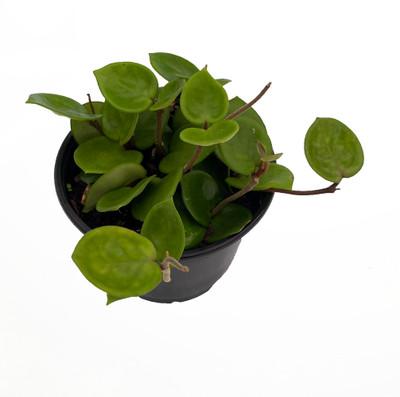 "Chelsea Wax Plant - Hoya Carnosa - Great House Plant - 6"" Pot"
