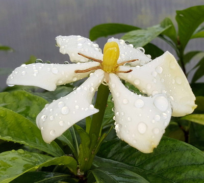 """Vietnamese Moonspinner Gardenia Plant - EXTREMELY FRAGRANT-Indoors/Out  - 4"""" Pot"""