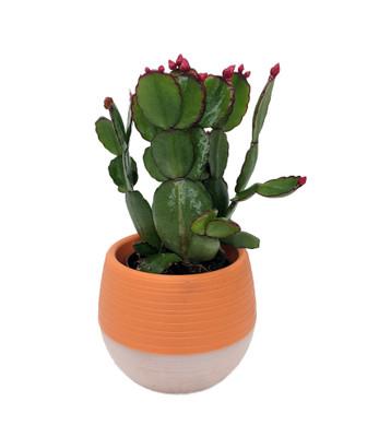"Easter Cactus in 2.5"" Orange Self-Watering Pot"