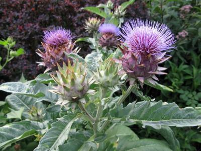 "Cardoon Plant - Cynara cardunculus - Artichoke Thistle - 2.5"" Pot"