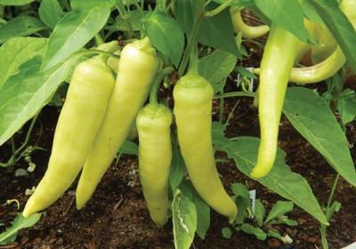 """Sweet Banana Pepper Plant - 2.5"""" Pot - Pickling!"""