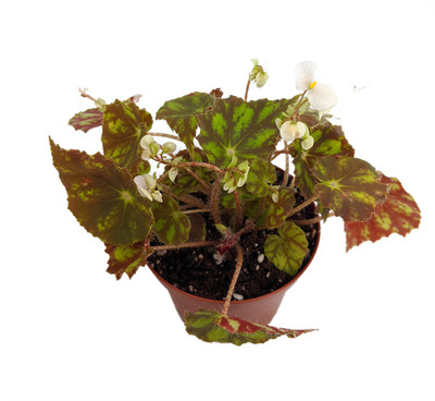 """Kit Kat Begonia Plant -  Small Leaves - Collector's Series - 6"""" Hanging Basket"""