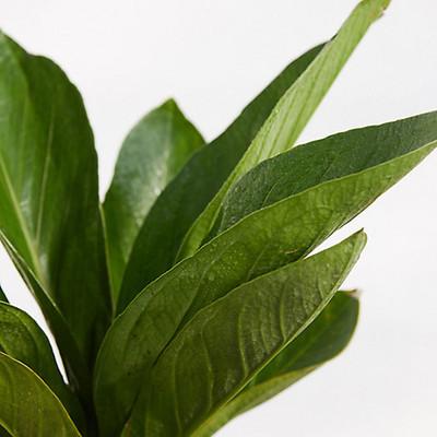 """Cobra Anthurium Plant - Anthurium Bonplandii - Easy to Grow - 6"""" Pot"""