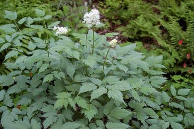 """Actaea pachypoda Misty Blue - Cohosh - Baneberry - 4"""" Pot"""