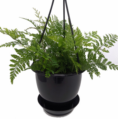 "Black Rabbit's Foot Fern - 4.5"" Ebony Hanging Basket -Davallia trichomanoides"