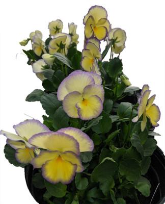Etain Mountain Violet Perennial - Viola - Shade Lover - Gallon Pot