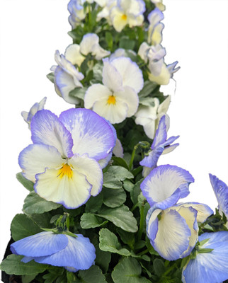 Celestial Blue Moon Hardy Violet - Viola - Shade - Live Plant - Gallon Pot