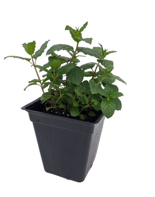 "Peppermint - Grow Indoors or Out - Easy to Grow! - 3"" Pot"