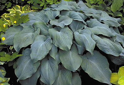 "Blue Angel Hosta - Blue Gray Foliage - 4"" Pot"