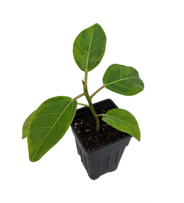 "Golden Gem Rubber Tree Plant - 2.5"" Pot - Ficus altissima"