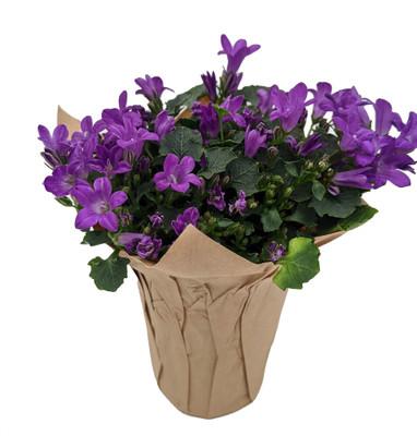 """Blissful Blue Campanula -2.5"""" Self Watering Pot- Enjoy Inside then Plant Outside"""