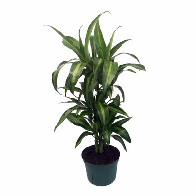 """Hawaiian Sunshine Cane Dragon Tree - Dracaena - 6"""" Pot -Easy to Grow House Plant"""