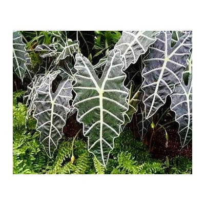 "Amazon Black Shield Plant - Alocasia amazonica - Polly - 4"" Pot"