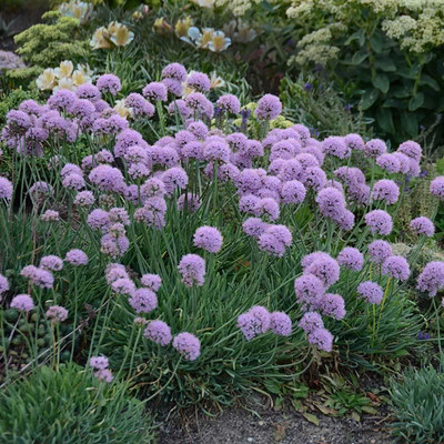 Blue Eddy Flowering Onion Perennial - Allium - Gallon Pot