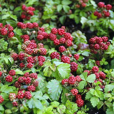"Anna Arctic Ground Cover Raspberry - Very Hardy - Thornless - 2.5"" Pot"