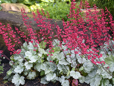 Dolce® Spearmint Coral Bells - Heuchera - Gallon Pot