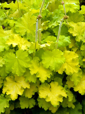 Lemon Love Coral Bells - Heuchera - Gallon Pot