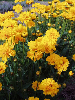 Early Sunrise Coreopsis - AAS Gold Medal Perennial - Gallon Pot