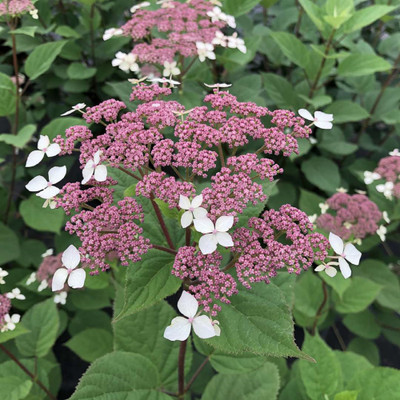 INVINCIBELLE LACE™ - Smooth Hydrangea - Pink Blooms - Hardy - Proven Winners