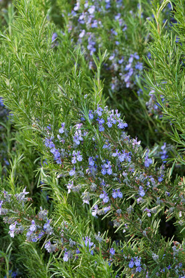 """Tuscan Blue Rosemary Plant - Inside or Out - Easy to Grow - 3""""  Pot"""