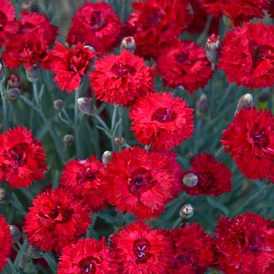 Fruit Punch® Maraschino Dianthus - Proven Winners - Quart Pot