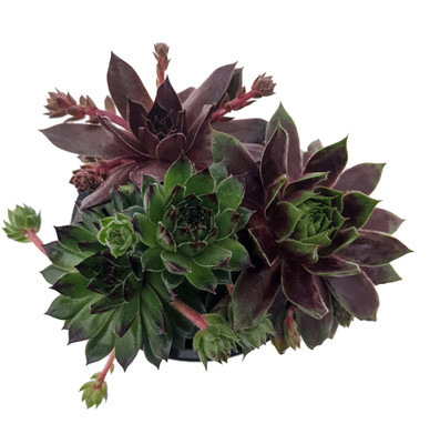 "Chick Charms® Trio - Truffles & Tarts™ - Sempervivum - 3.5"" Pot"