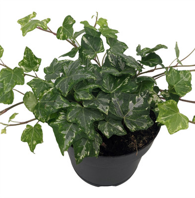 """Stardust English Ivy - Hedera - 5"""" Pot - Easy to Grow, Indoors"""
