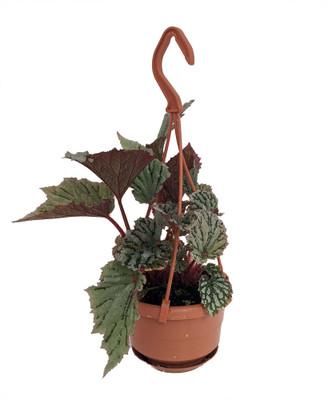 "Glacier Rex Begonia Plant - 4"" Mini Hanging Basket - Great Houseplant"