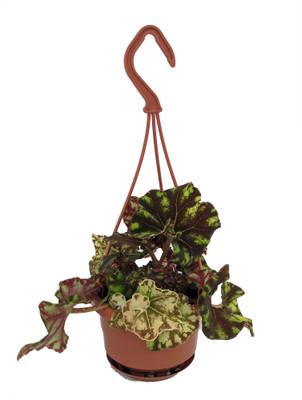 """Zumba Rex Begonia Plant - Magic Color Series - 4"""" Mini Hanging Basket"""