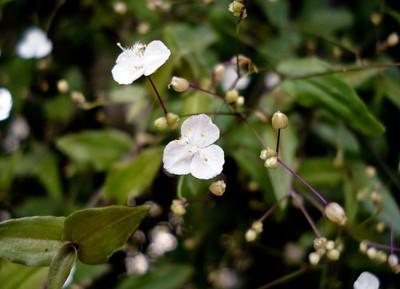 "Tahitian Bridal Veil Wandering Jew - 2.5"" Pot - Tradescantia - Blooming House Plant"