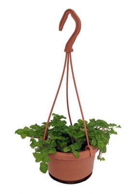 "Creeping Charlie Pilea - 4"" Mini Hanging Basket - Easy to Grow"