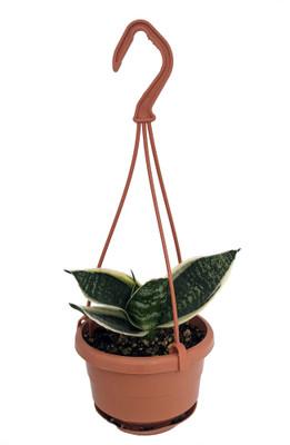 "Silver Star Hahnii Birdsnest Snake Plant - Sanseveria - 4"" Mini Hanging Basket"