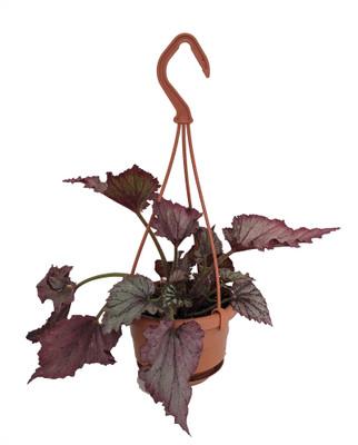 """Lavender Rex Begonia Plant - 4"""" Mini Hanging Basket - Great Houseplant"""