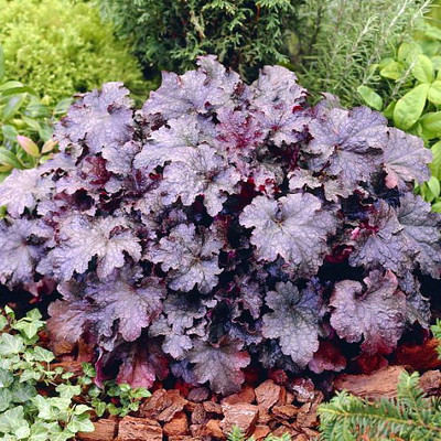 'Plum Pudding' Coral Bells - Heuchera - Fragrant - Shade Perennial - Gallon Pot