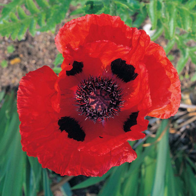 Allegro Oriental Poppy - Papaver - Quart Pot