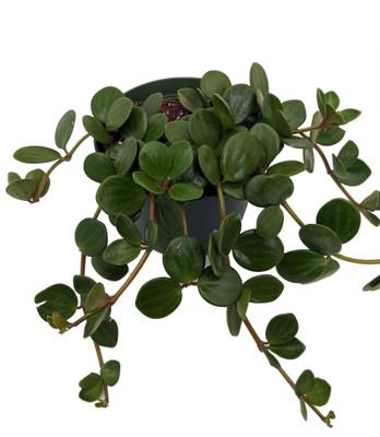 """Hope Peperomia - 6"""" Pot - Easy to Grow Houseplant"""