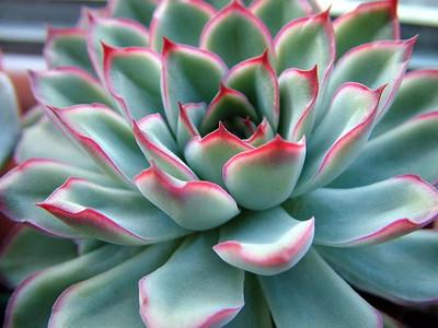 "Red Tipped Desert Rose Succulent - Echeveria pulidonis - 4.5"" Pot"