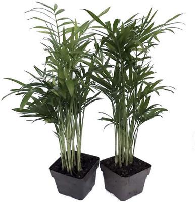 "Hirt's Gardens® Victorian Parlor Palm -Chamaedorea Neanthe Bella-2 Pack 2.5"" Pot"