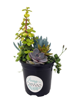 Backyard Bonfire - Succulent Garden - 5 Plants in One Quart Pot